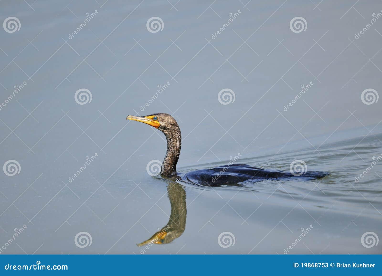Cormorant krönad double
