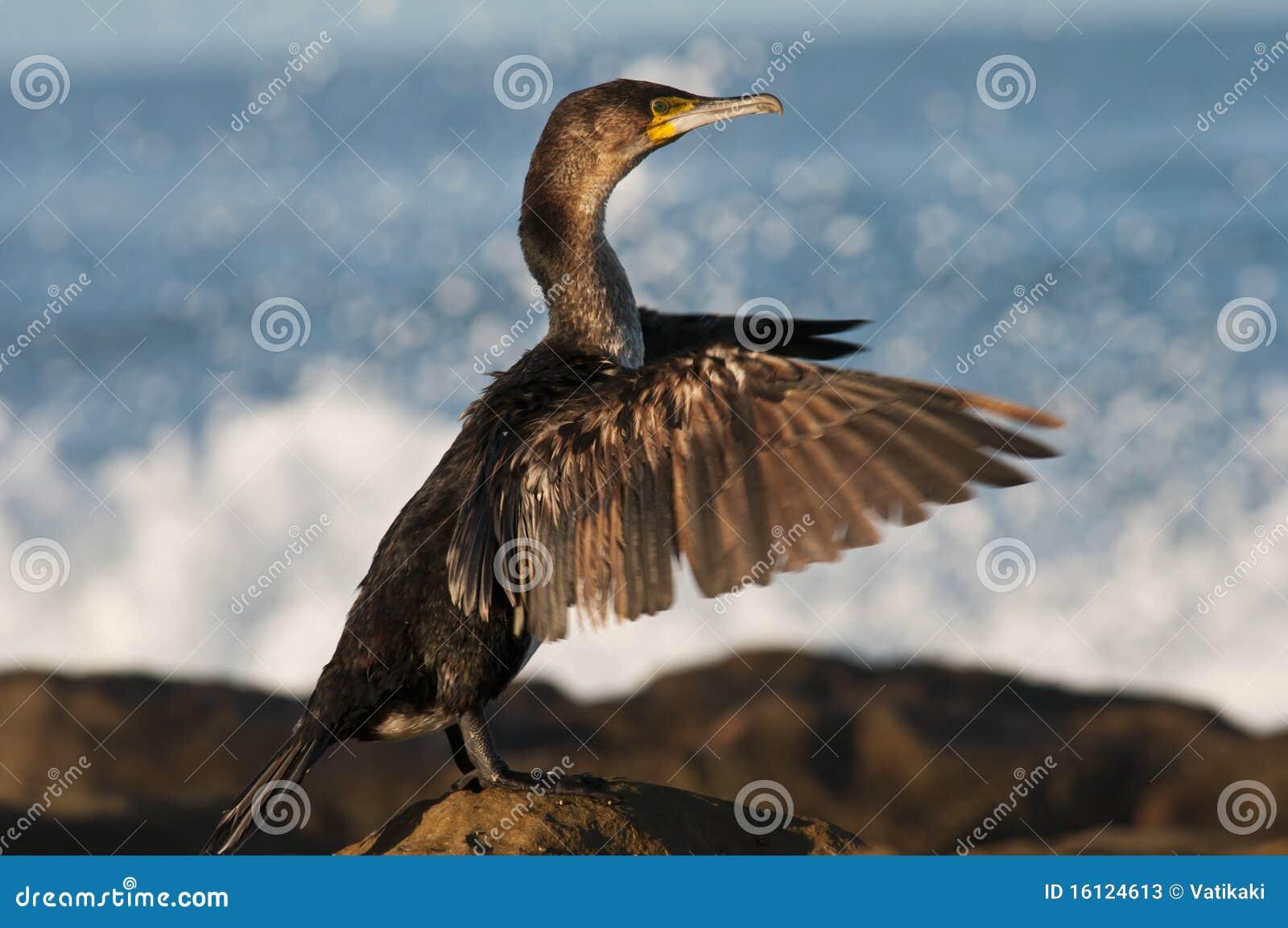Cormorant que seca suas asas