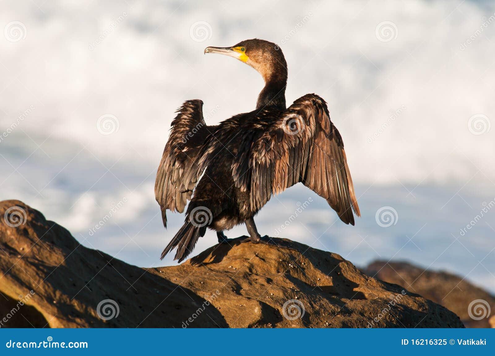 Cormorant som torkar dess vingar