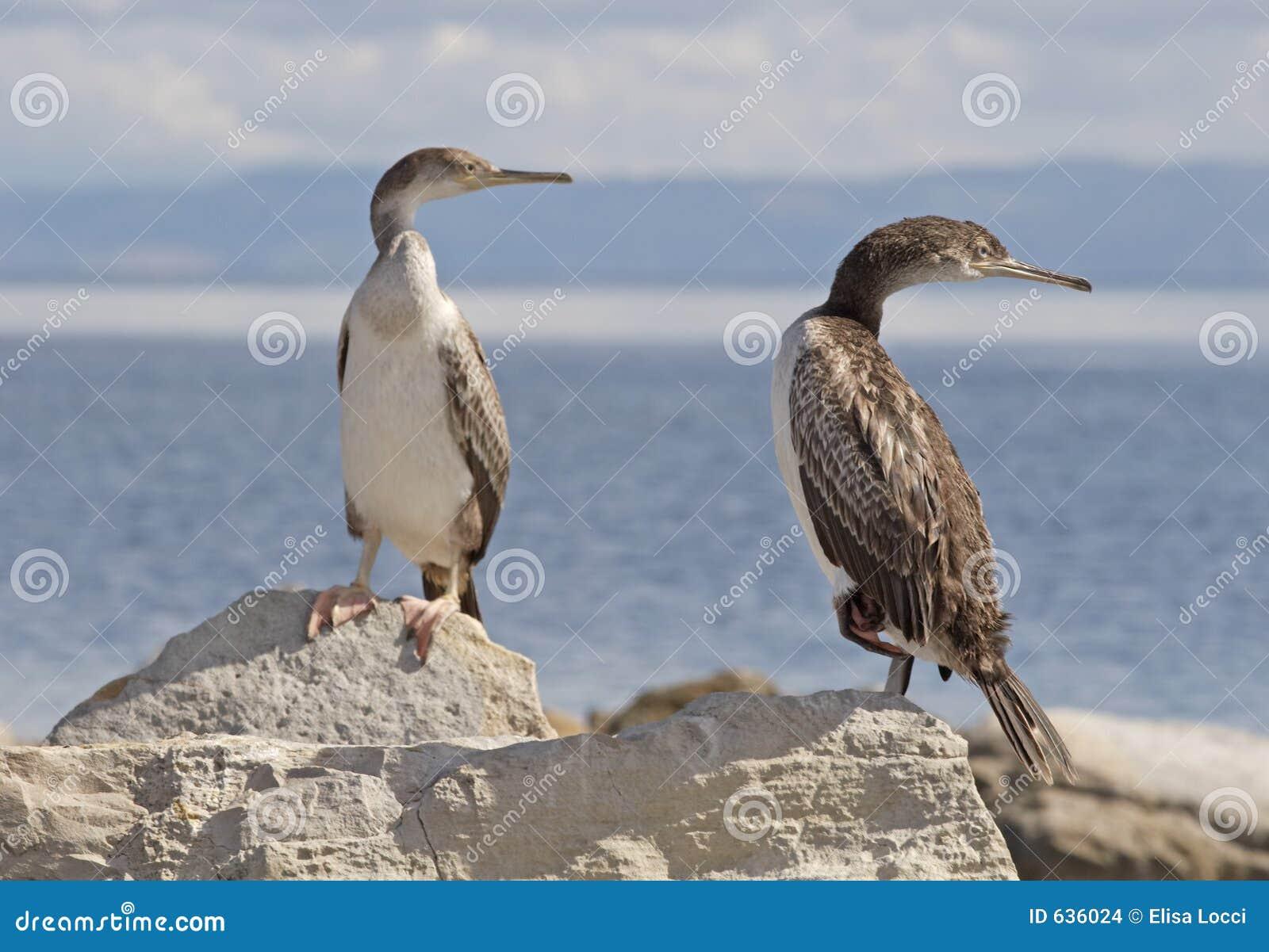 Download Cormorants стоковое фото. изображение насчитывающей cormorants - 636024