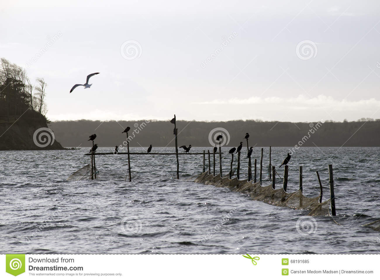 Cormorants and pound net stock image. Image of little ...