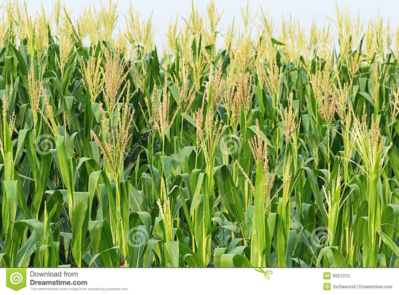 Stock Photography Corn Image6051212 on Sounds Of Farm Animals