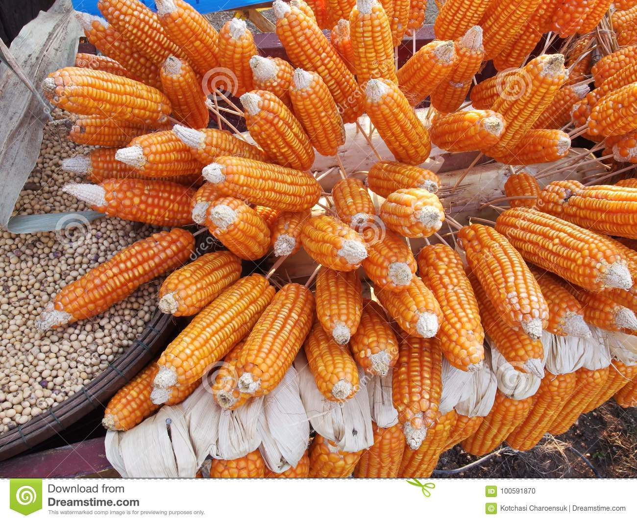 Cornl feed stock photo  Image of vegetable, maize, food