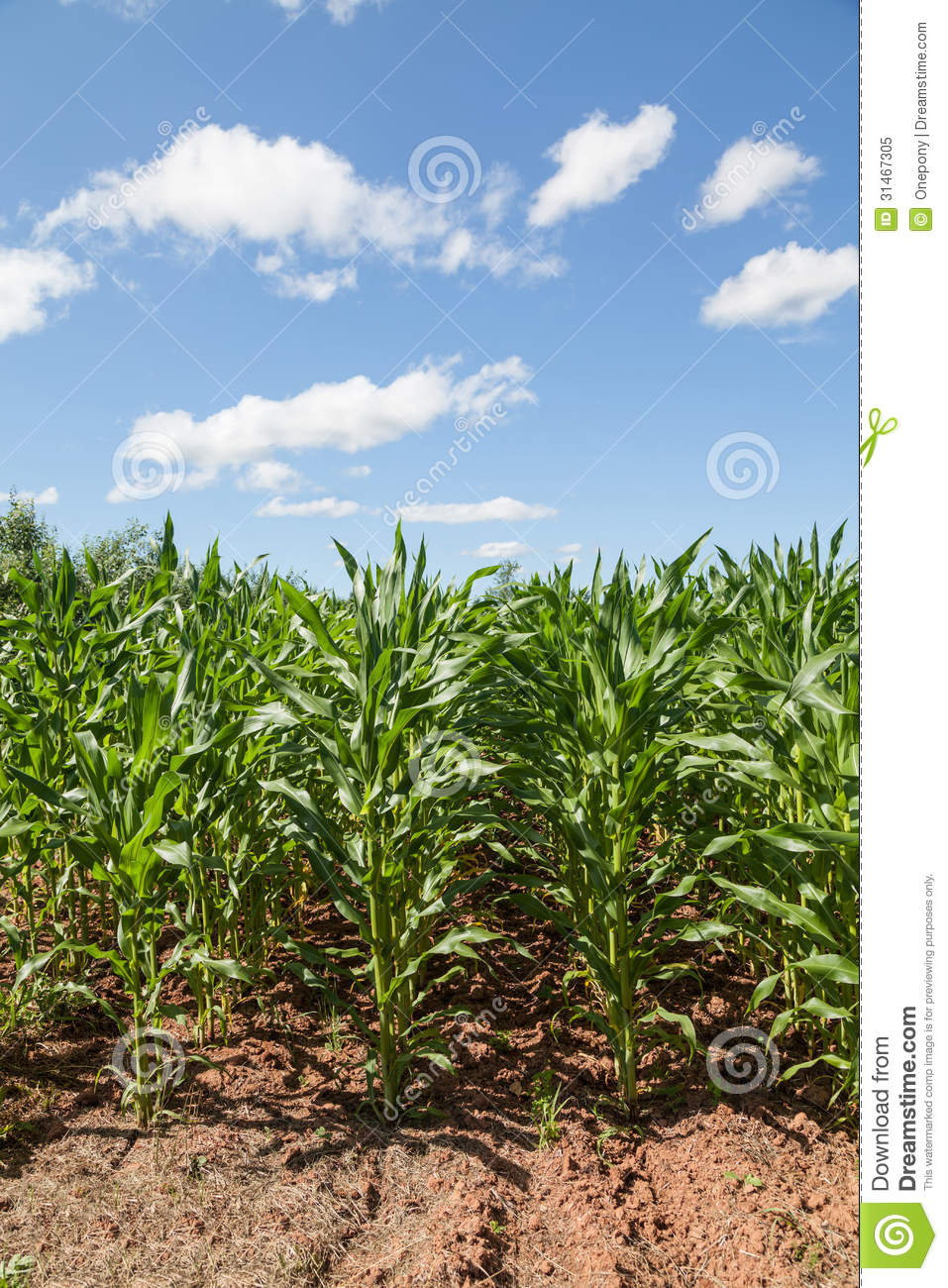 Corn Crop stock image. Image of outside, land, color ...