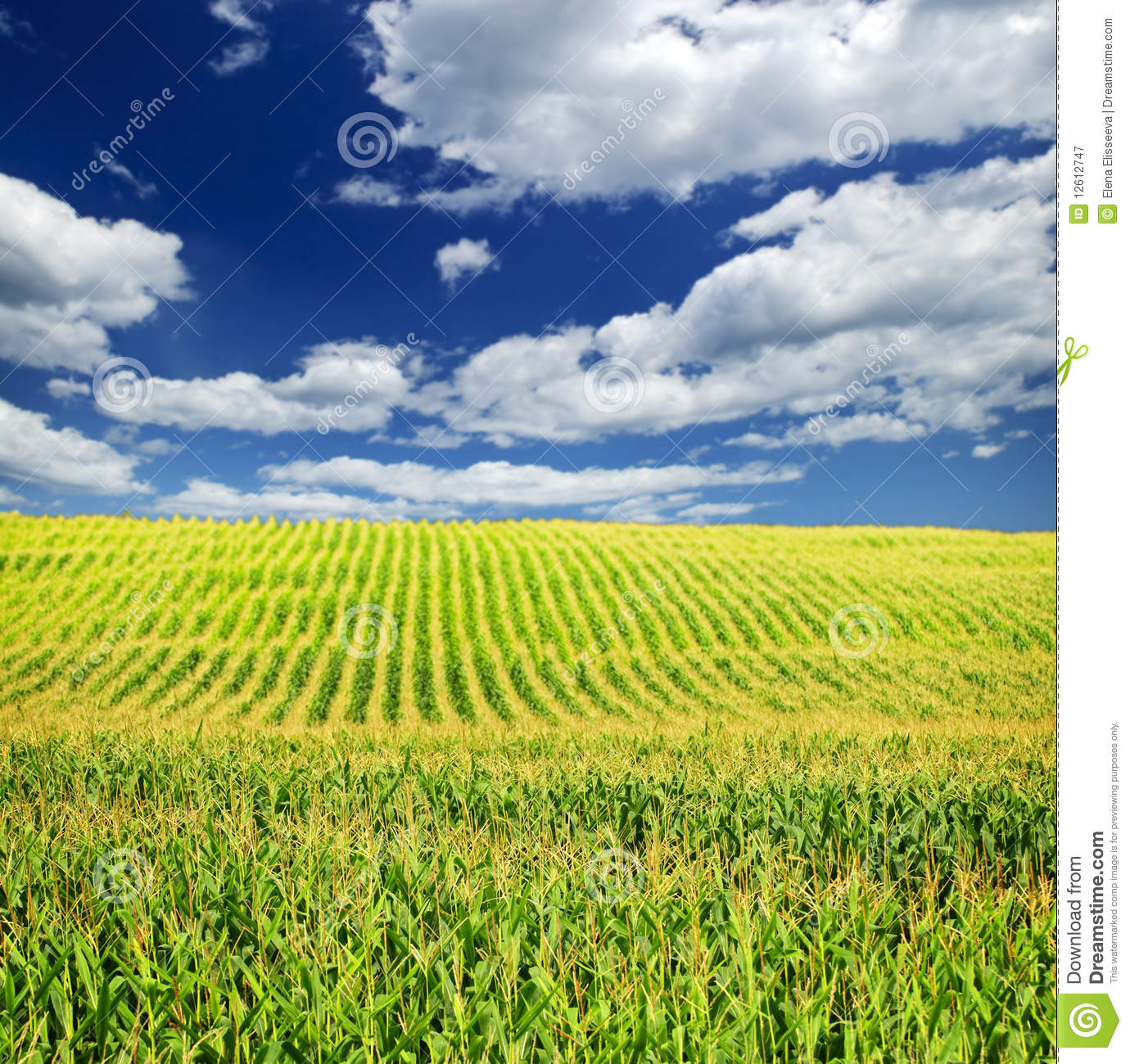 Download Corn field stock image. Image of farmland, horizon, agricultural - 12612747