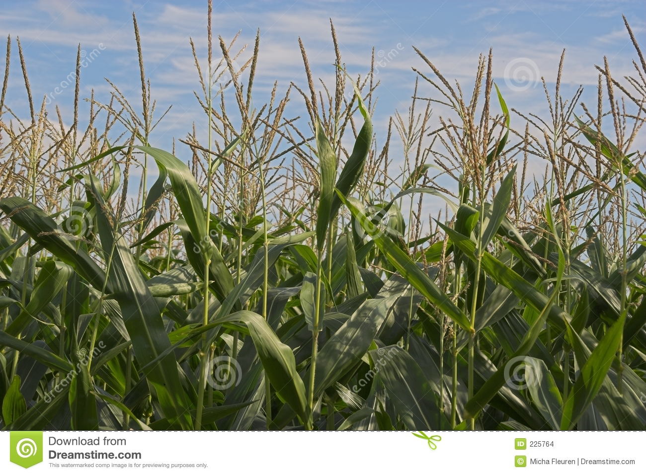 Download Corn Field stock photo. Image of open, spring, farming - 225764