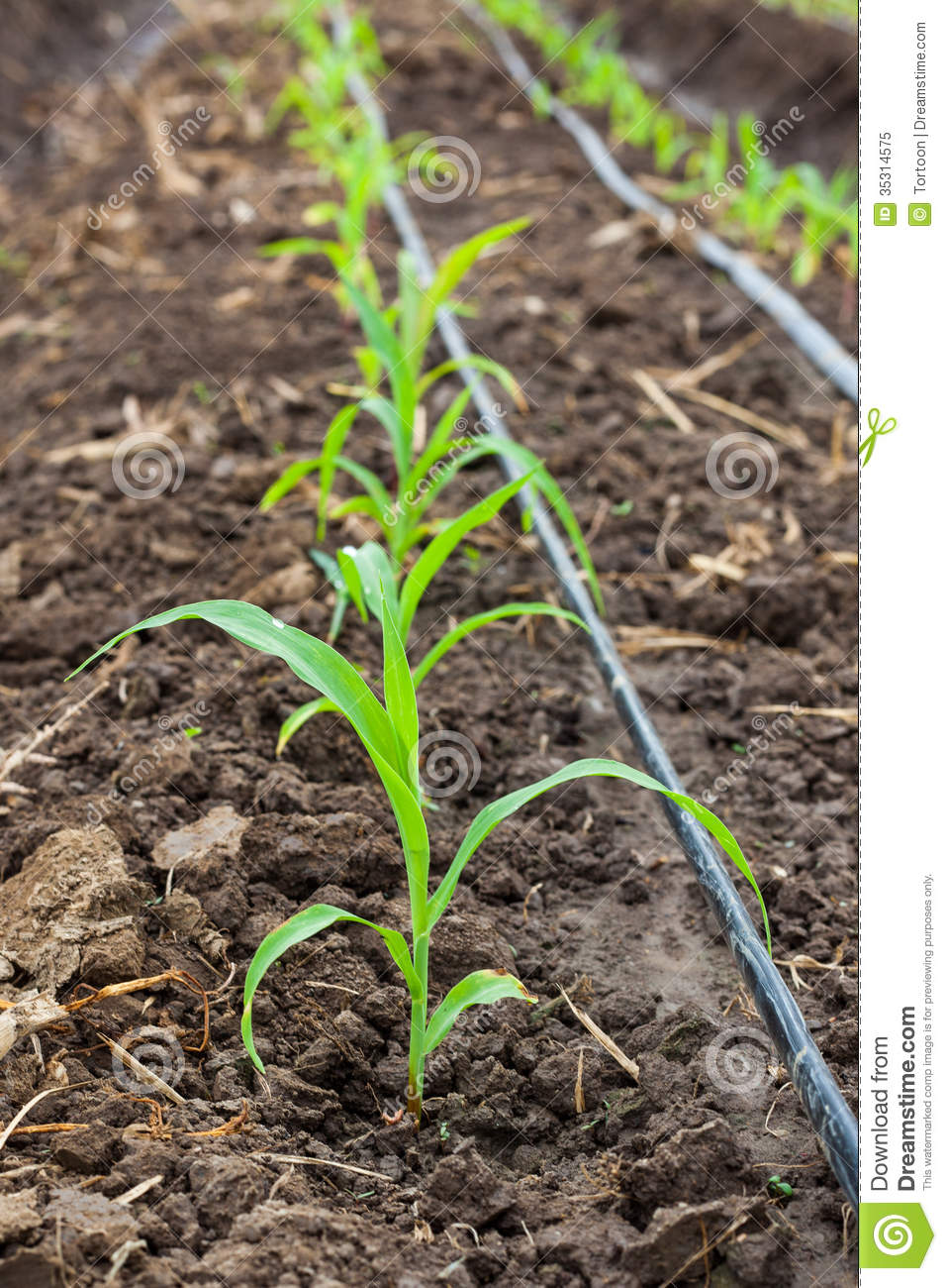 Corn Field Growing With Drip Irrigation Royalty Free Stock