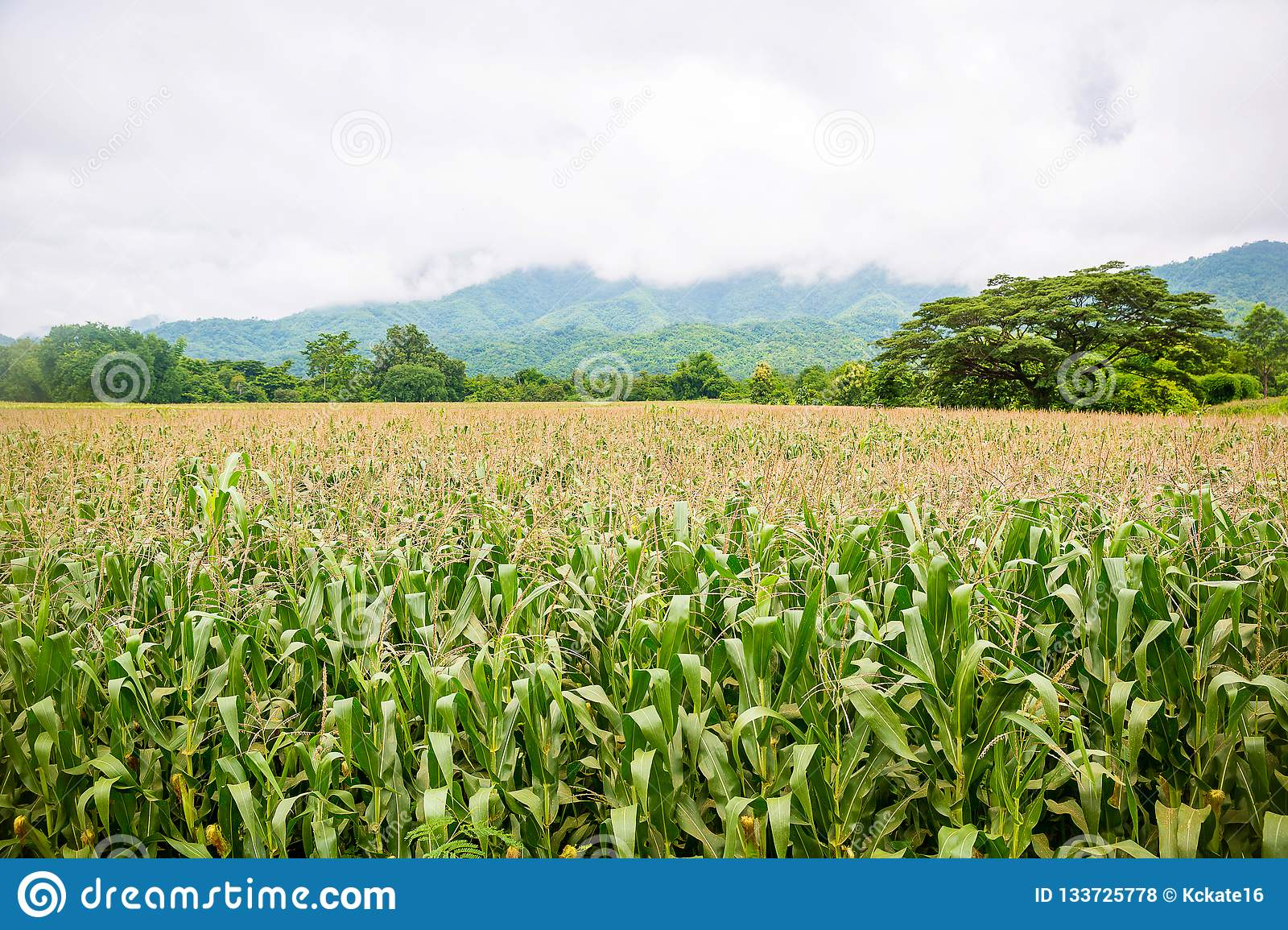Corn field with mountain on background. Corn farm agriculture with corn tree on field.