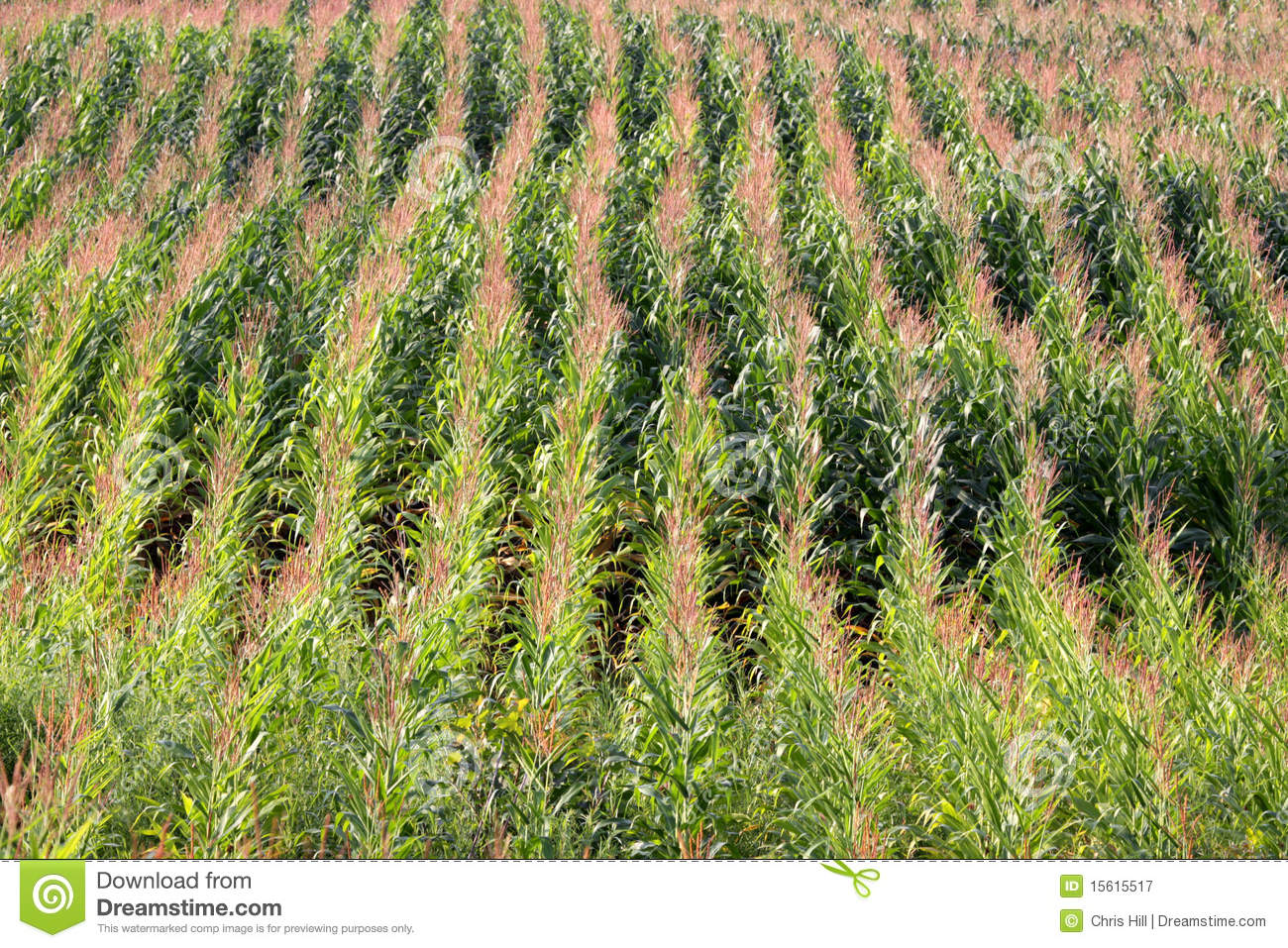 Corn Field Rows stock image. Image of stalks, corn, leave ...