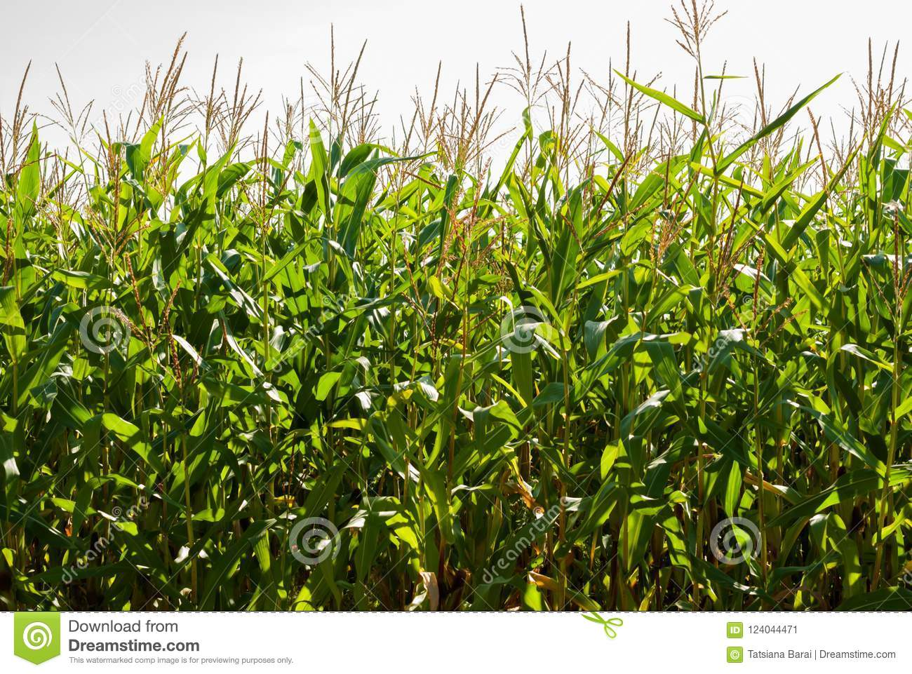 Corn field on a sunny day at the end of summer