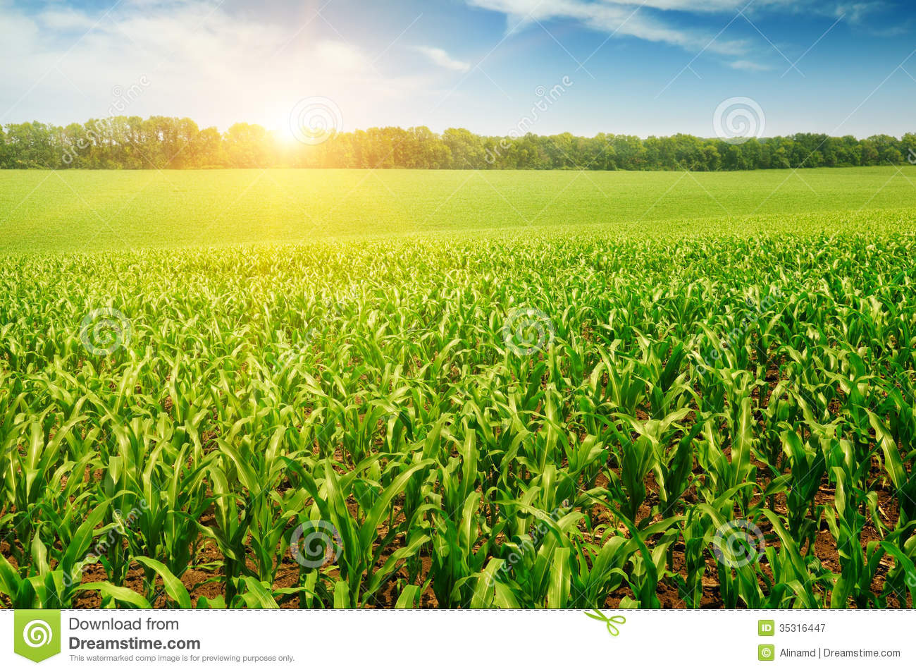 Corn field stock image. Image of clouds, morning, land ...