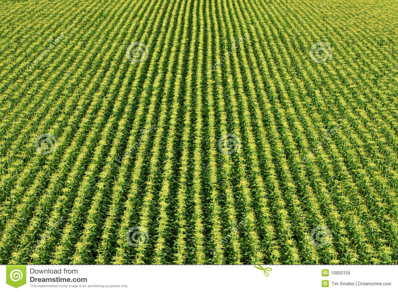 Corn Field/Sweetcorn Field