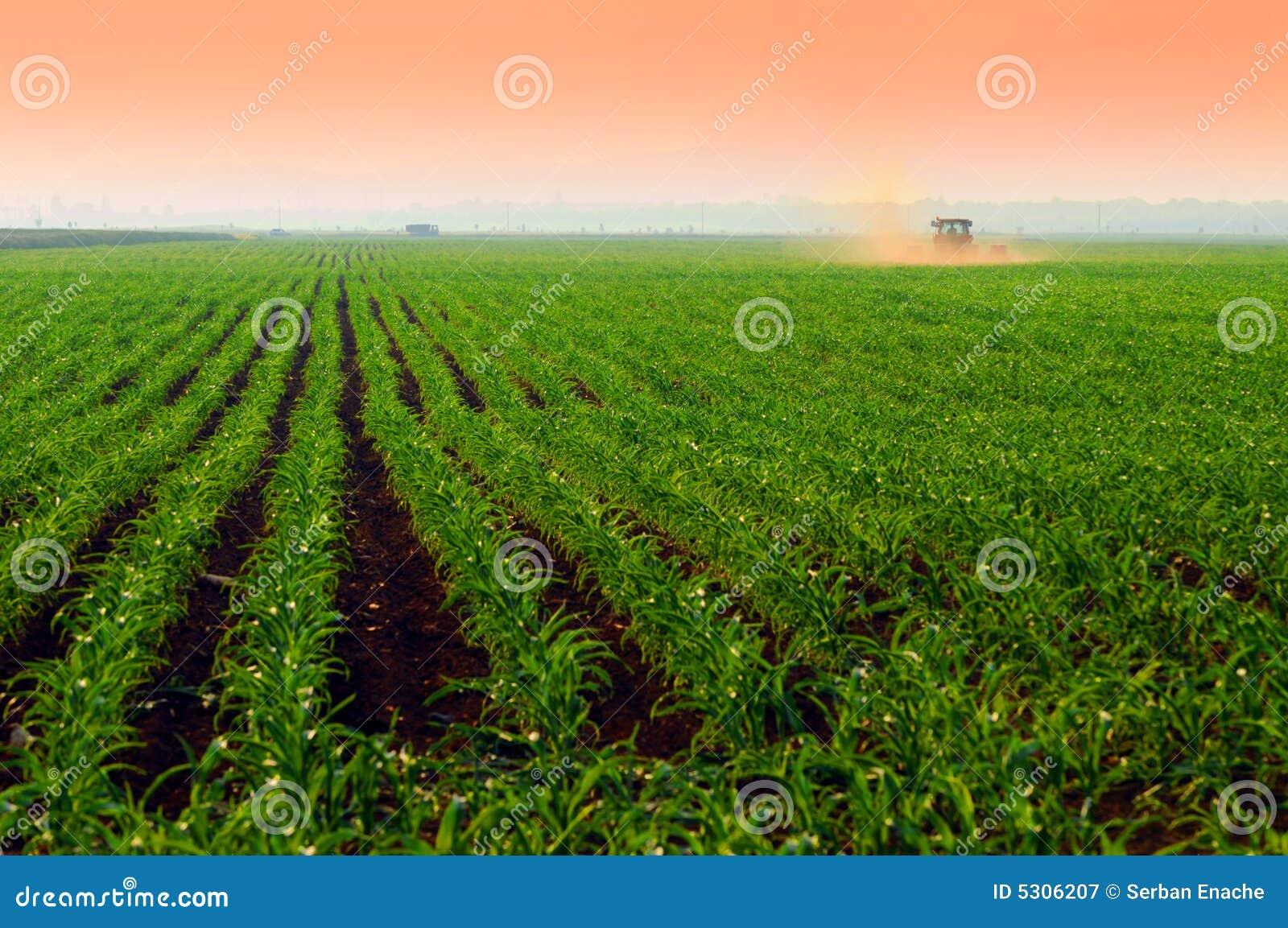 Corn fields at sunset