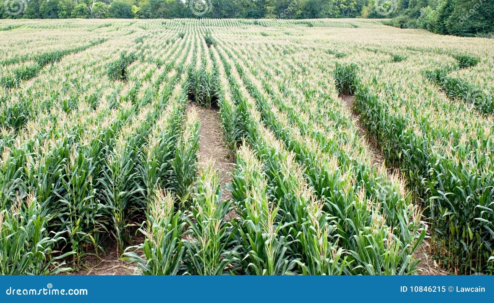 A Sample Maize Farming Business Plan Template