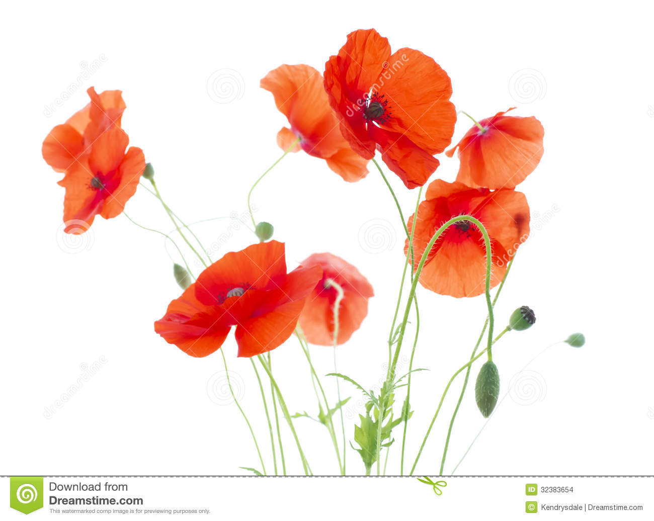 Corn Poppies With Seed Pods And Buds Papaver Rho Stock Photo