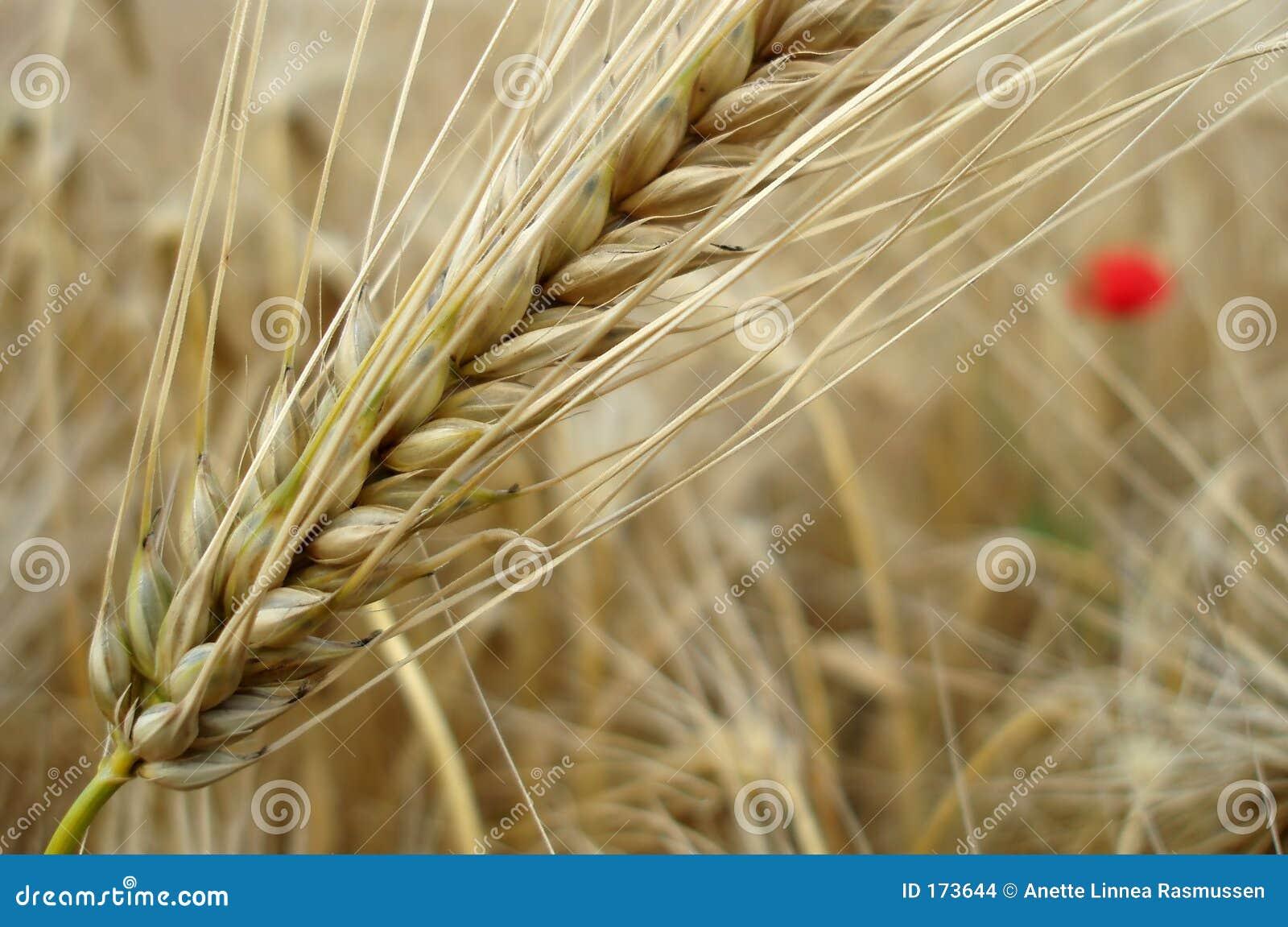 Corn with poppy