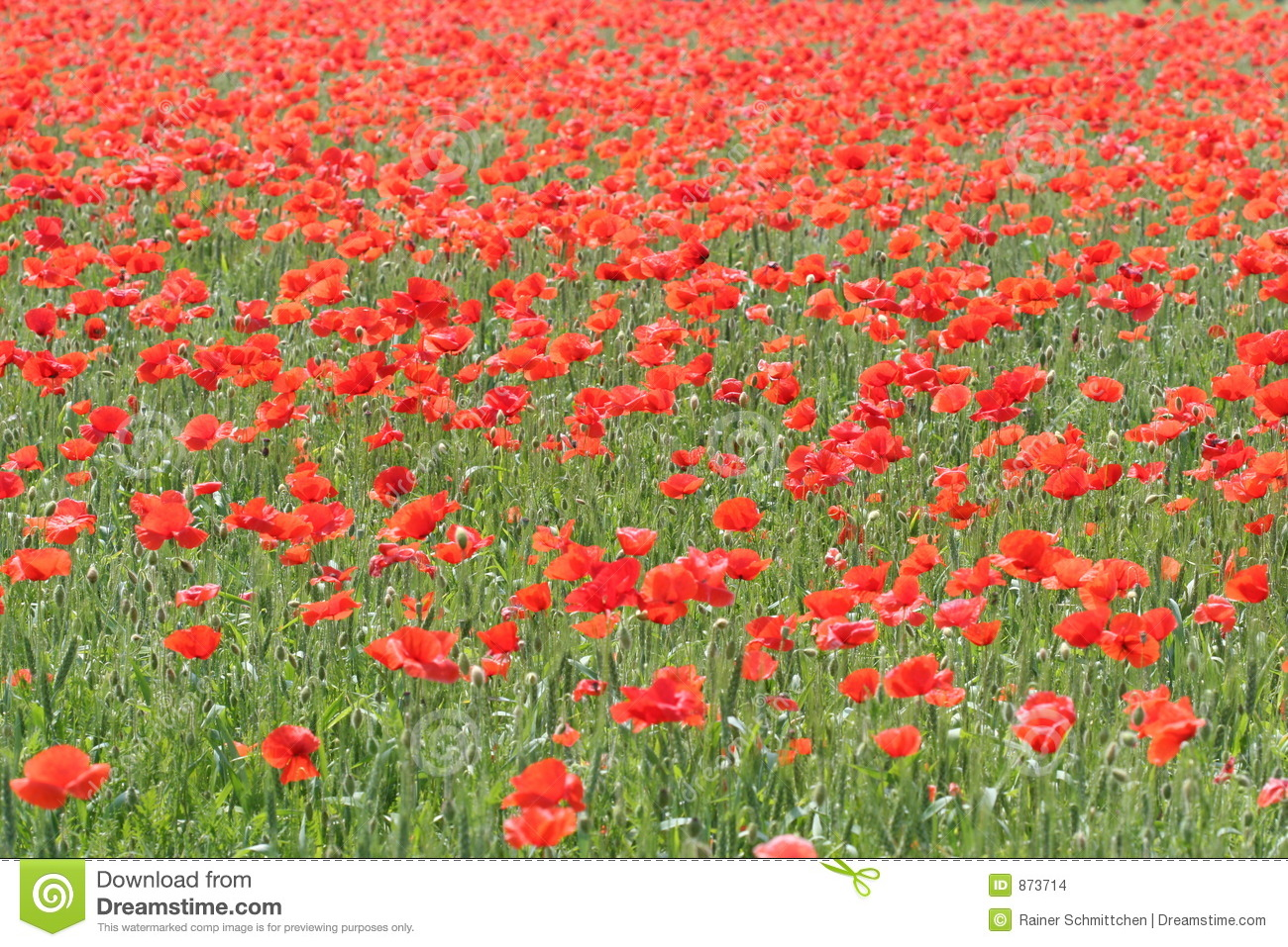 Corn-poppy field