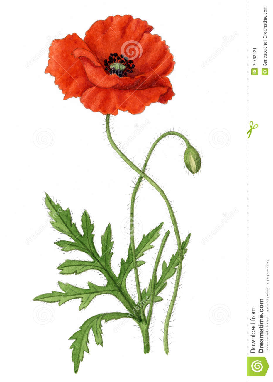 Corn Poppy Illustration (Papaver Rhoeas) Stock Image - Image: 21782921