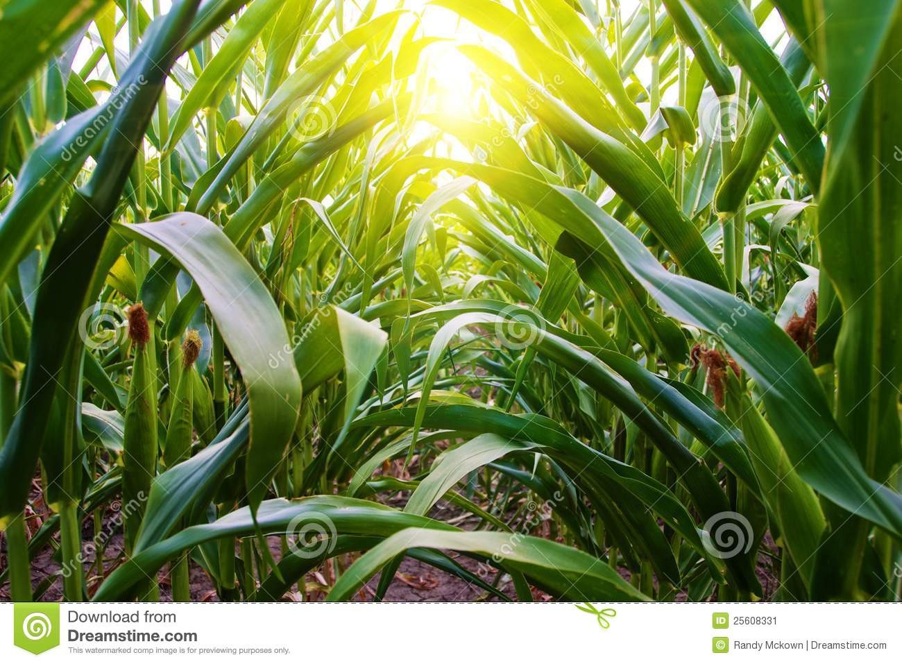 Corn Row On Amish Midwest Farm Stock Image Image 25608331