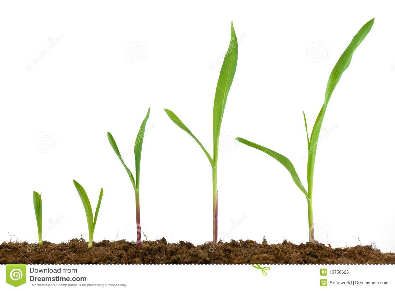 Corn seedling growing