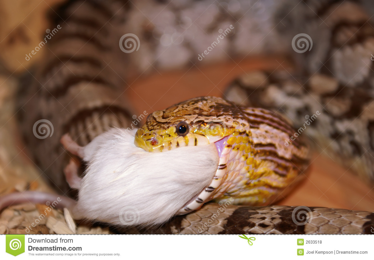 A Corn Snake Eating A Mouse Stock Photo - Image of eyes ... - photo#42