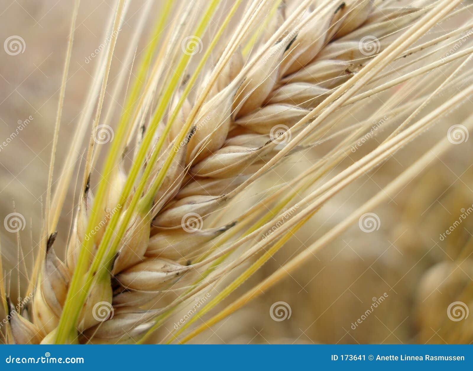 Corn straw