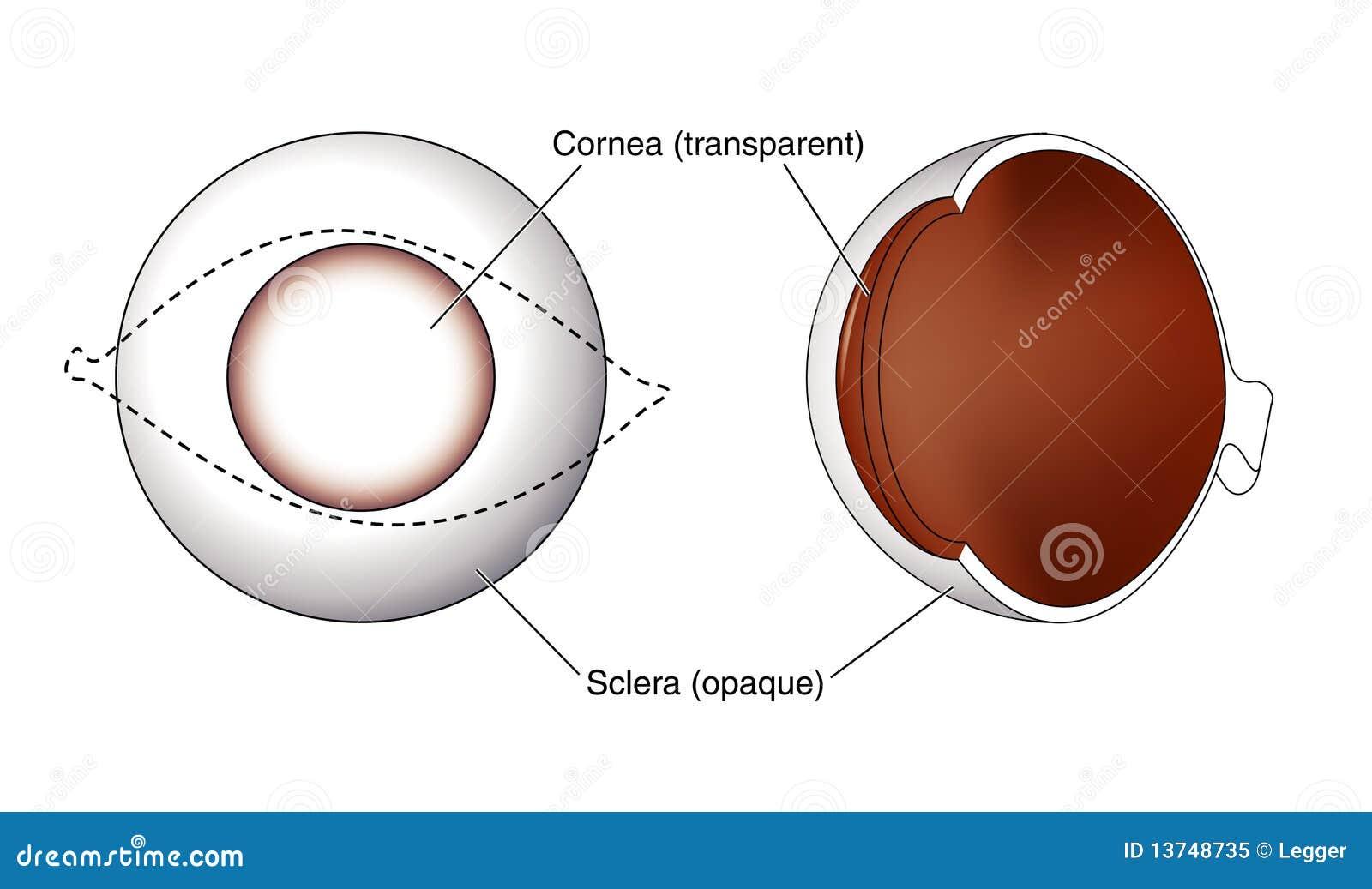 Sclera Stock Illustrations 340 Vectors Simple Eye Diagram Clipart Dreamstime