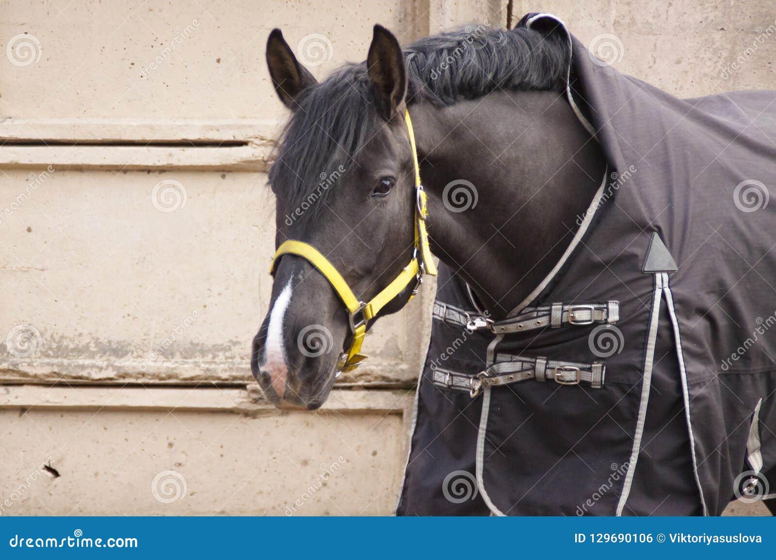 Corneille de cheval dans une couverture sur un mur en béton gris