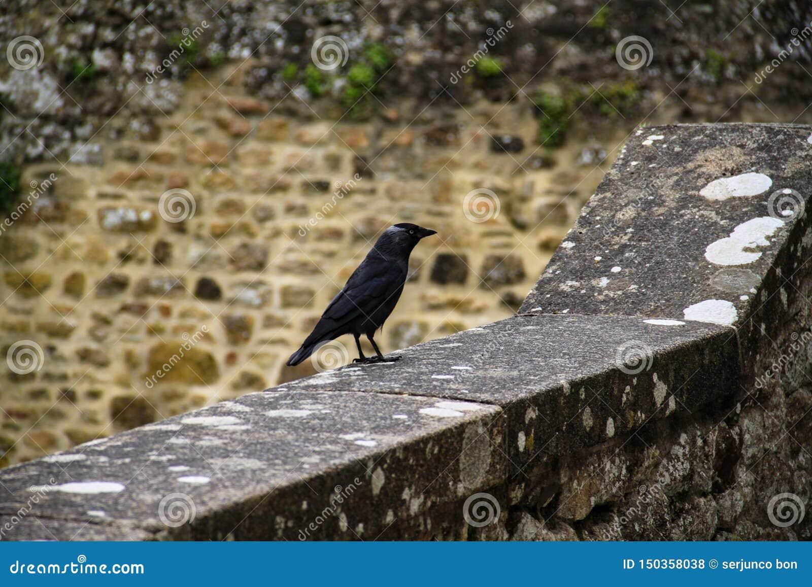 Corneille noire se penchant sur la corniche et avec le mur en pierre à l arrière-plan