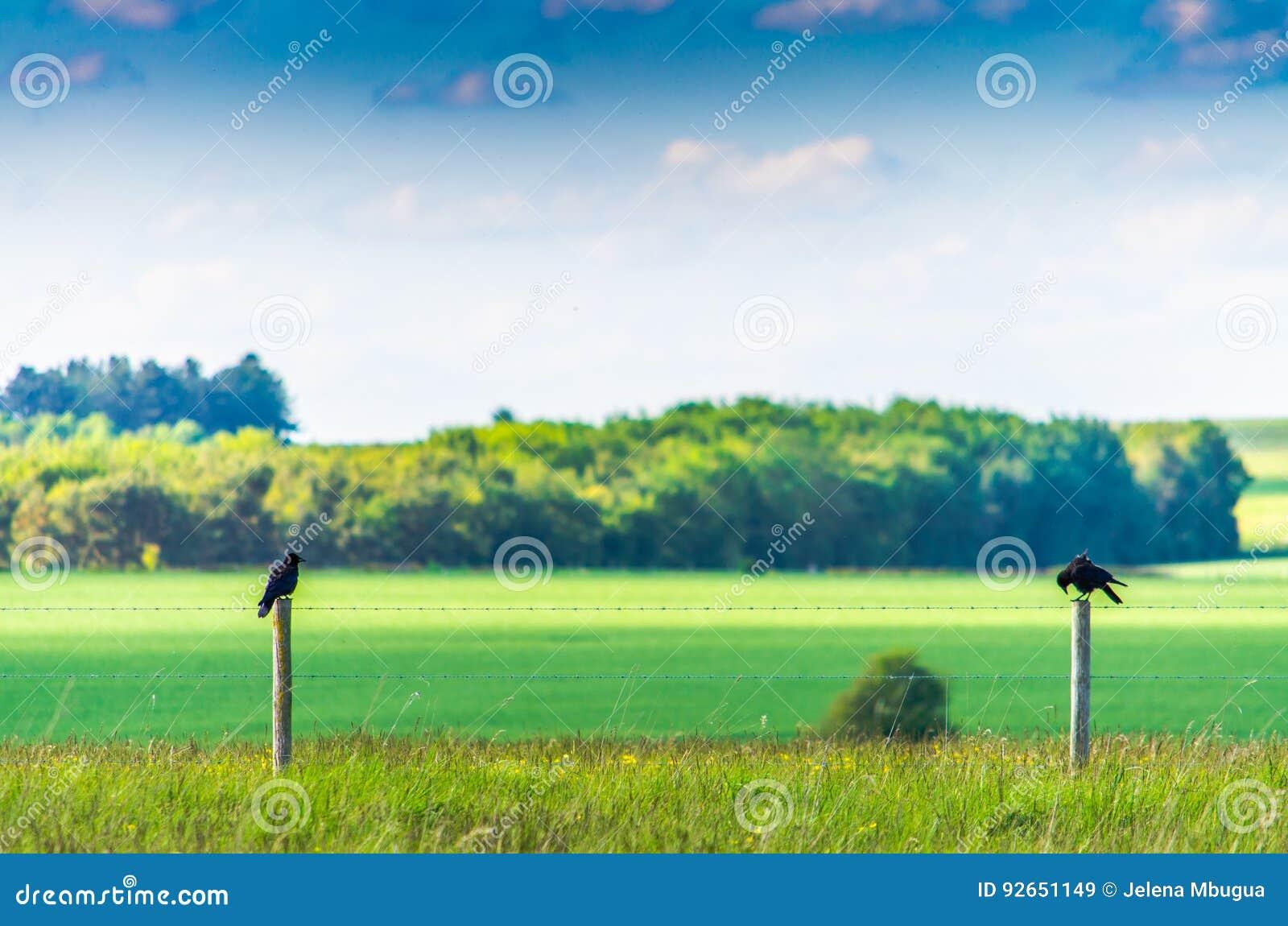 Corneilles étées perché sur une barrière en bois