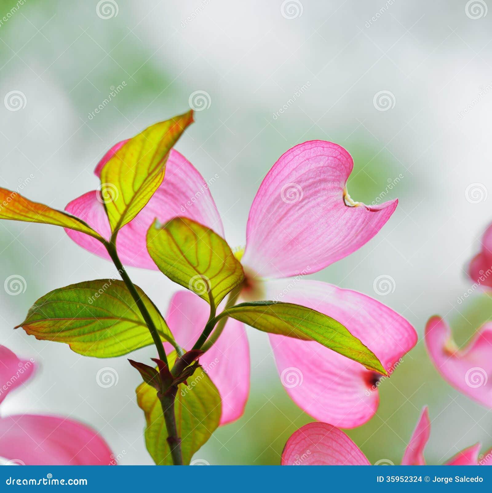 Cornejo floreciente rosado