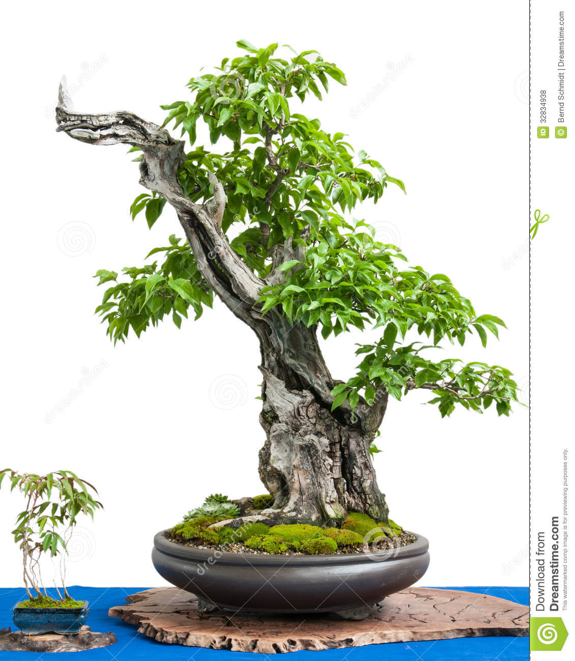 Cornel Cherry (Cornus Mas) As Asian Art Of A Bonsai Tree Royalty ...