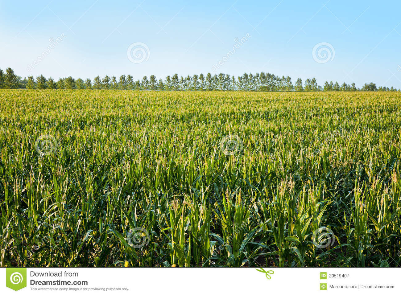 Cornfield Royalty Free Stock Photography - Image: 20519407