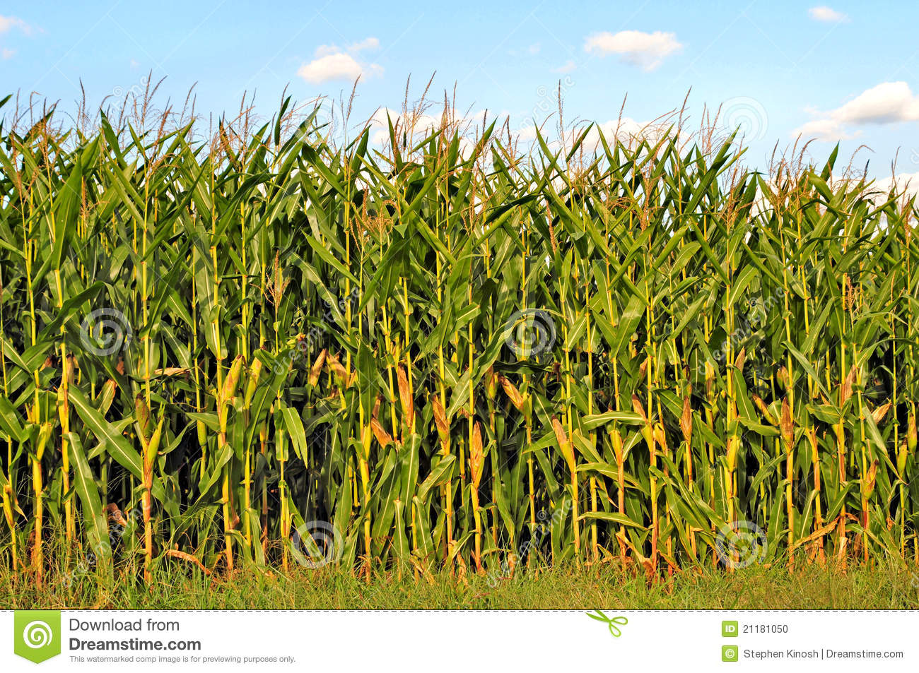 Download Cornfield stock photo. Image of foreground, country, corn - 21181050