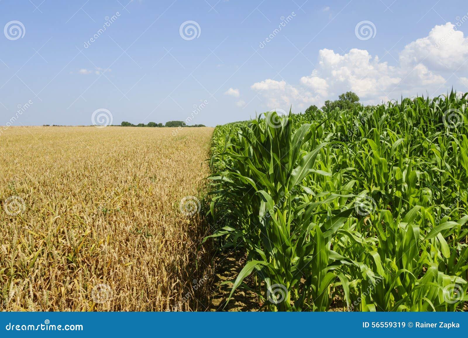 Download Cornfield στοκ εικόνα. εικόνα από cornfield, ορίζοντας - 56559319