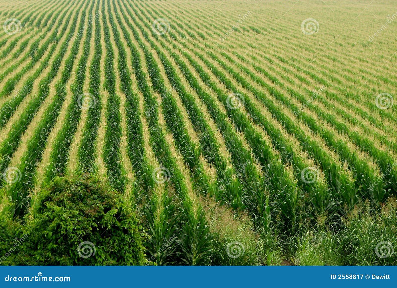 Cornfield background stock image. Image of closeup, land ...