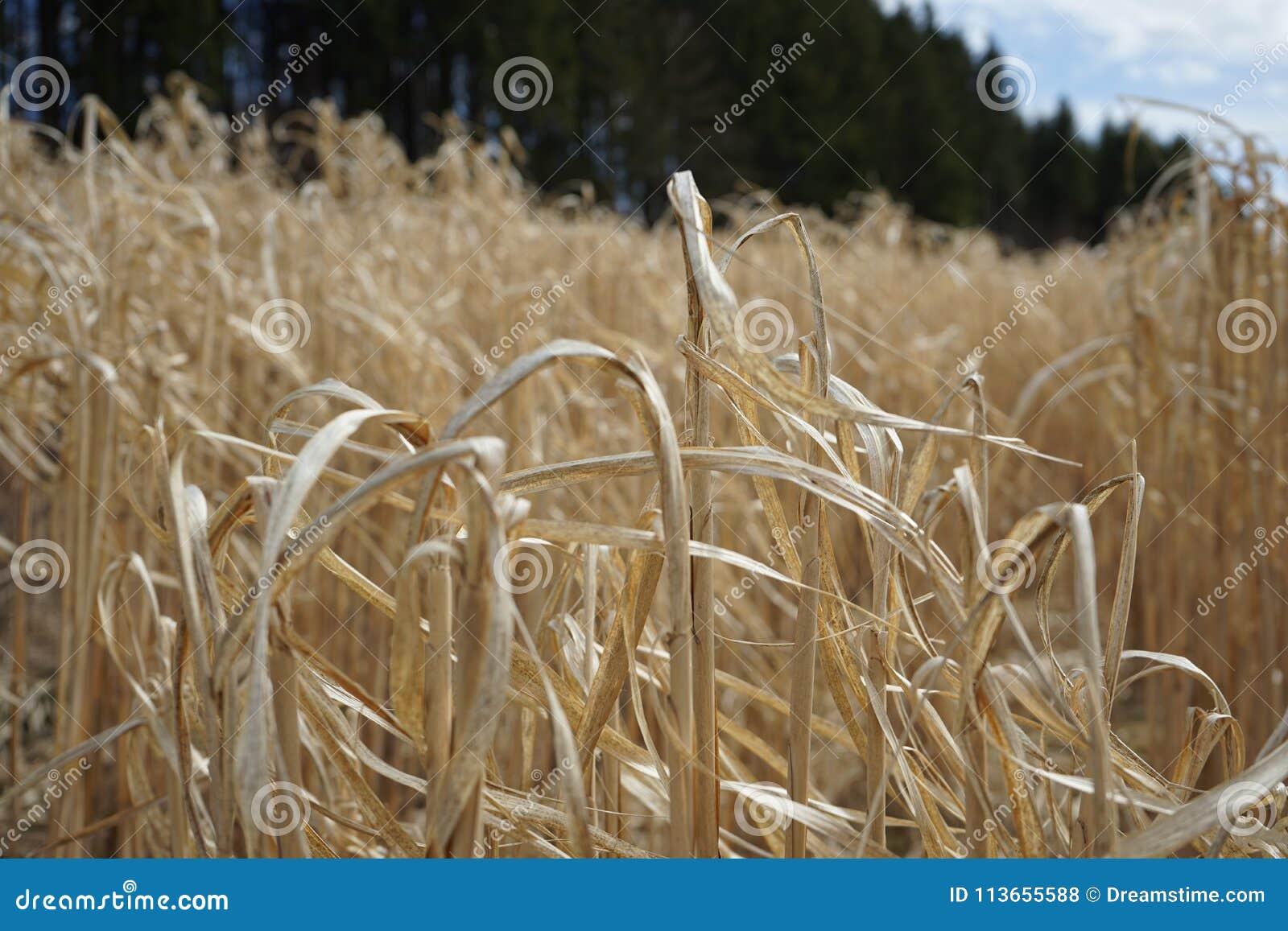 Cornfield de lente