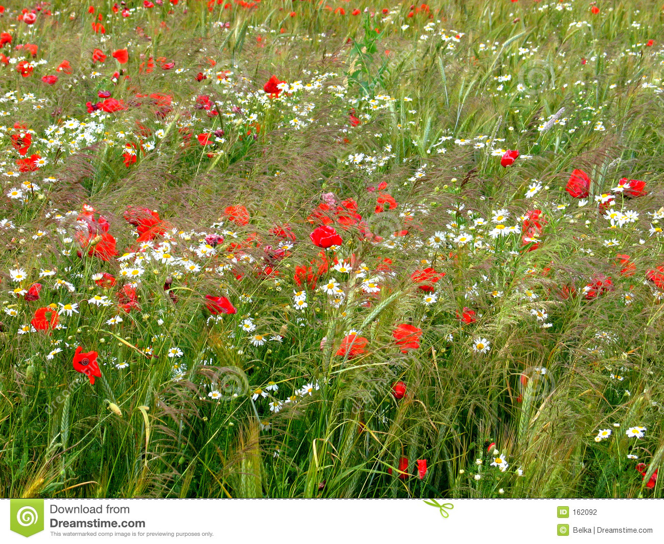 Cornfield with poppies