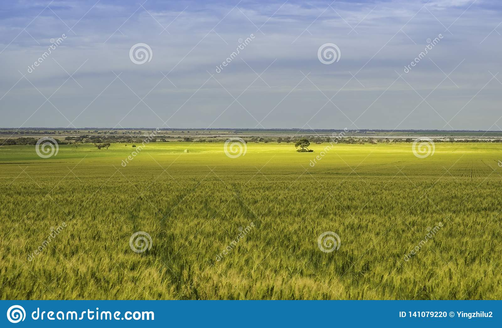 Cornfield under cloudy sky with gold colour