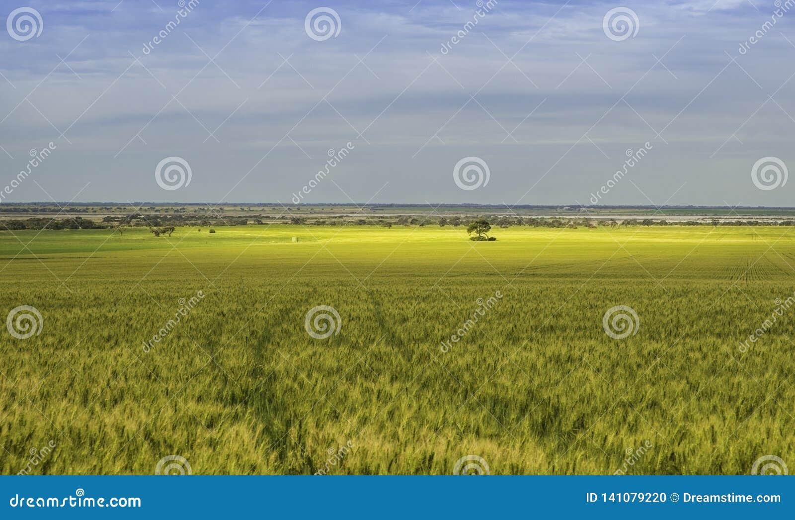 Cornfield under molnig himmel med guld- färg