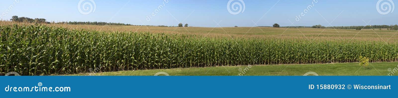 Cornfield van het Panorama van het Gebied van het Graan van het landbouwbedrijf Panoramische