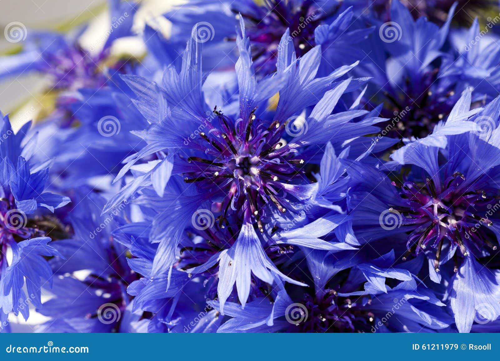 Cornflower Blue Flowers Stock Image Image Of Meadow 61211979