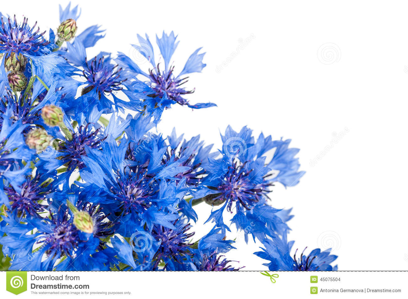 cornflower bouquet of wild blue flowers stock photo image 45075504. Black Bedroom Furniture Sets. Home Design Ideas