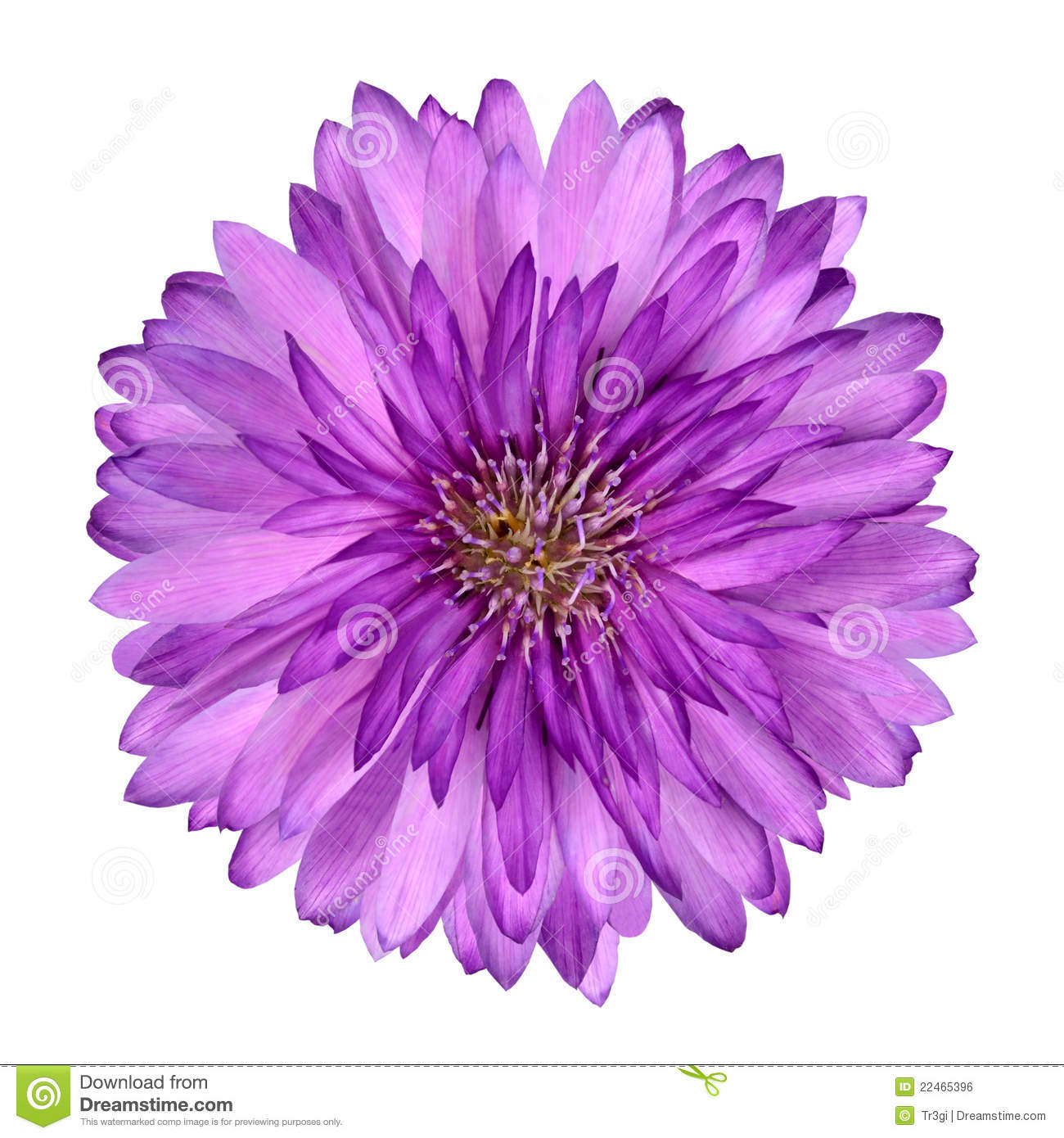 Cornflower Like Pink Purple Flower Isolated Stock Photo
