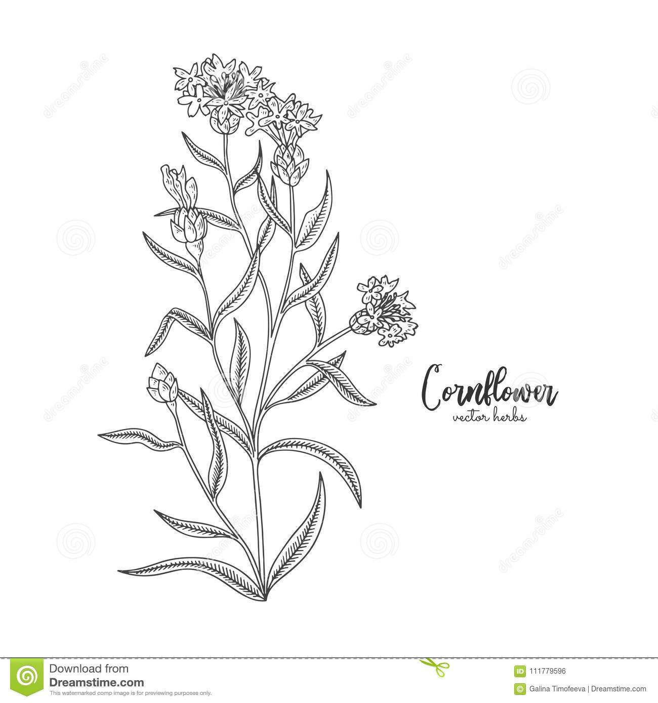Cornflower. Wild field flower isolated on white background. Healing and cosmetics herb. Medical plant for design package