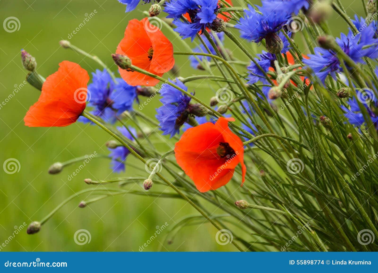 Cornflowers και παπαρούνες που ξεχωρίζουν