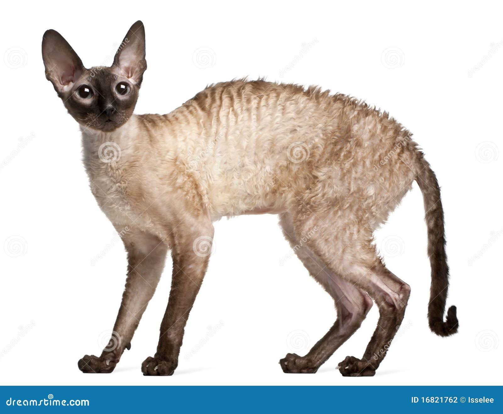 latissimus dorsi cat