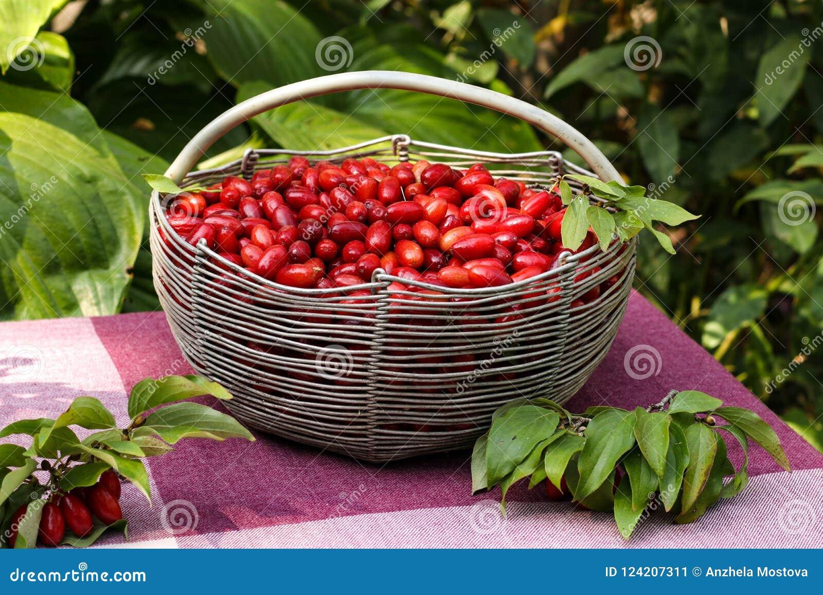 Corniso maduro em uma cesta do ferro em uma tabela no jardim