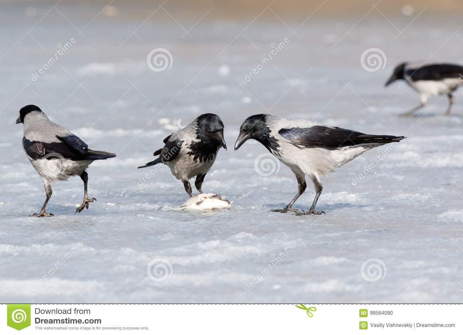 Cornix encapuchado del Corvus del cuervo