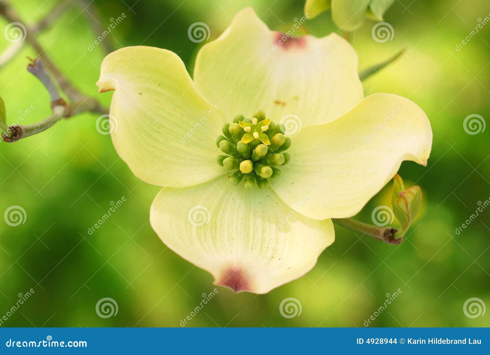 Cornouiller fleurissant oriental